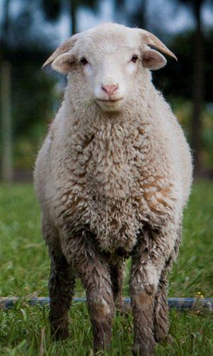 singular_sheep